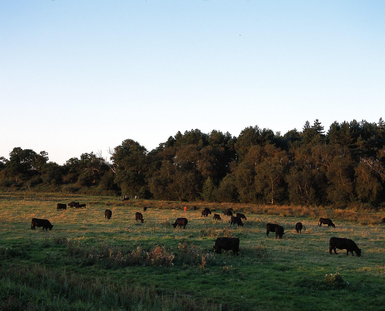 Black cattle on marsh.jpg
